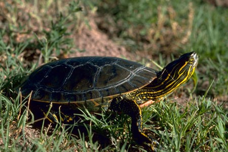 Native   Garter Snakes Turtles: Western Pond and Western Painted (both in decline)   Non-native & Invasive   Snapping Turtle Red-eared Slider