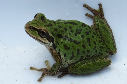 Native   Rough-skinned Newt  Long-toed Salamander Pacific chorus Frog/Pacific tree Frog Red-legged Frog   Non-native & Invasive   Bullfrog