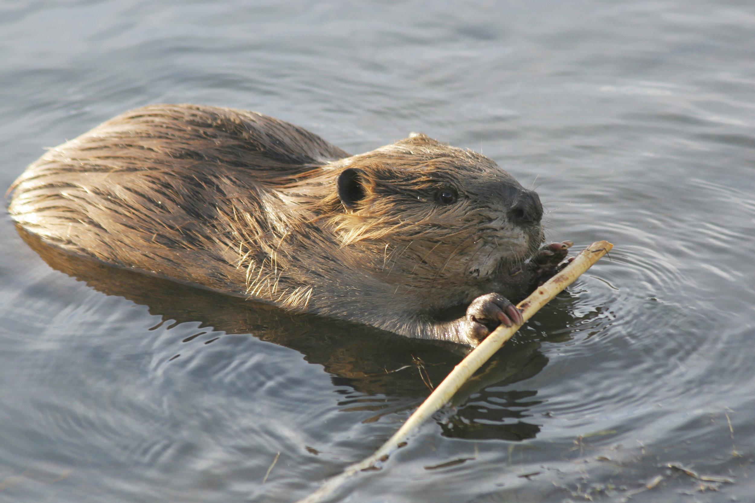 beaver 300 dpi.jpg