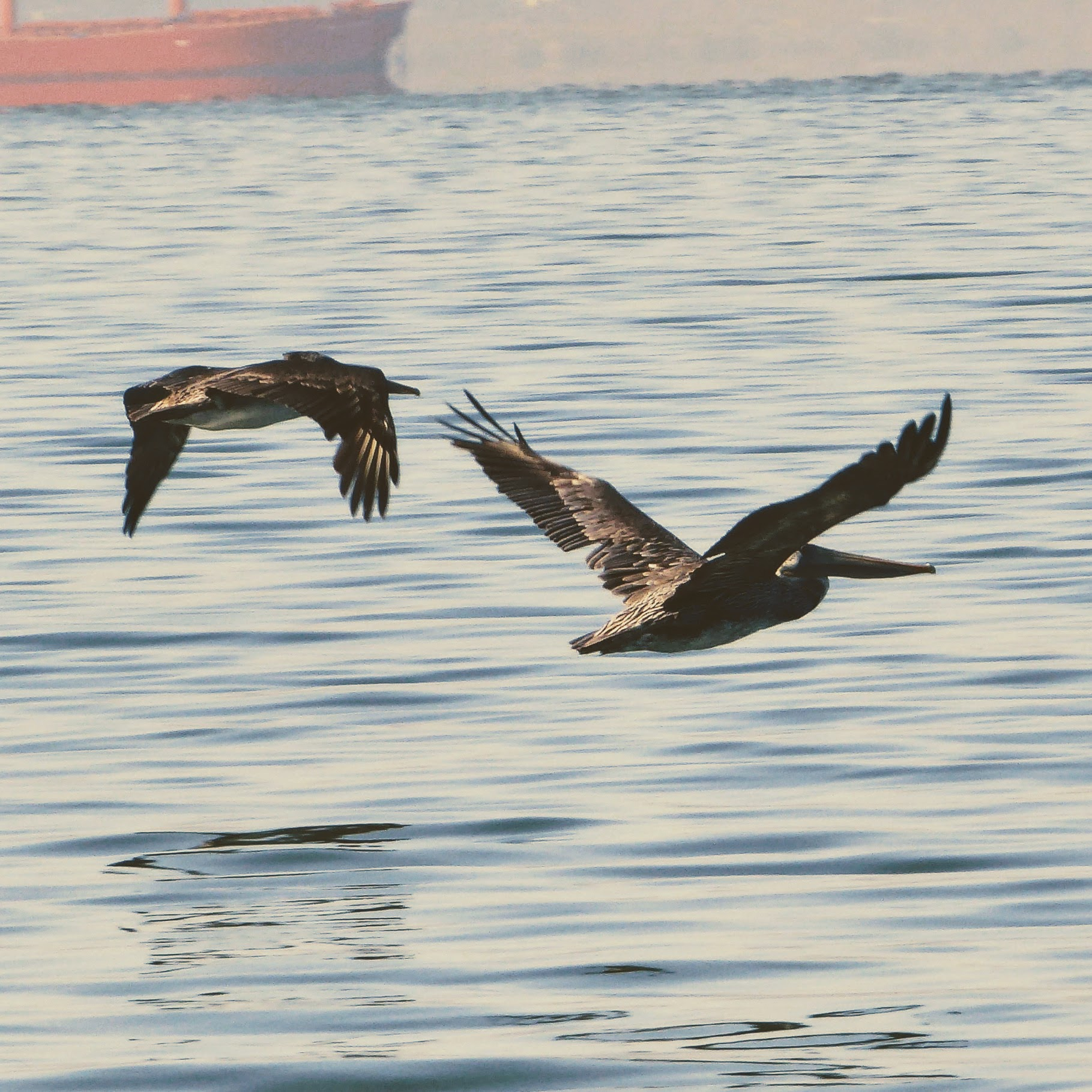Brown Pelicans on the SF Bay