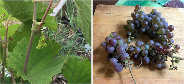 Herbemont grapes on the vine at City Roots in April of this year on the left and on the right, grapes picked by Keith Mearns at the Robert Mills House, for David Shields to enjoy. Photos from Jenny Maxwell, David Shields.
