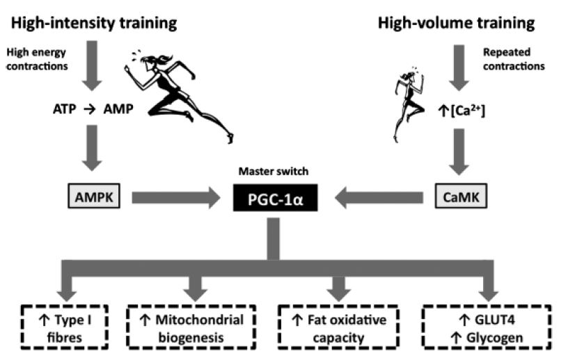 """Figure 1. Both interval training and slow, long distance training can trigger the same """"master switch"""". (Laursen, 2010)"""