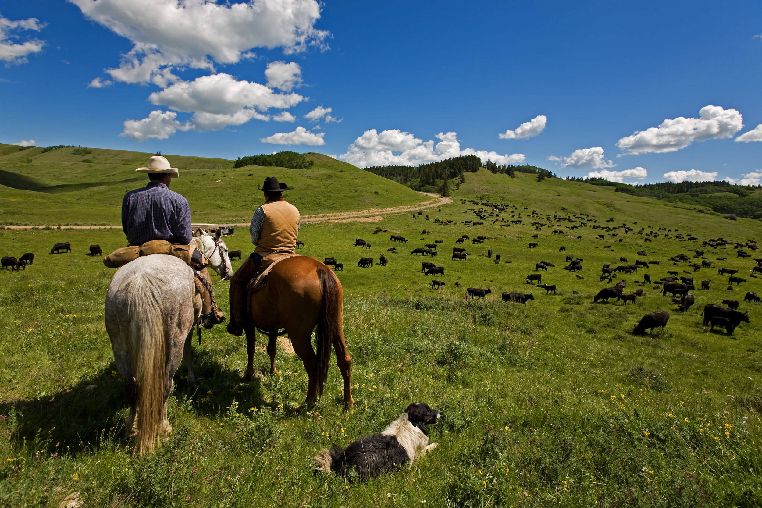 Cowboys, Cattle & Dog.jpg