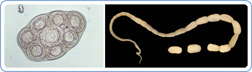 """""""Parasites - Dipylidium Infection (Also Known as Dog and Cat Flea Tapeworm)."""" Centers for Disease Control and Prevention , Centers for Disease Control and Prevention, 10 Jan. 2012, www.cdc.gov/parasites/dipylidium/."""