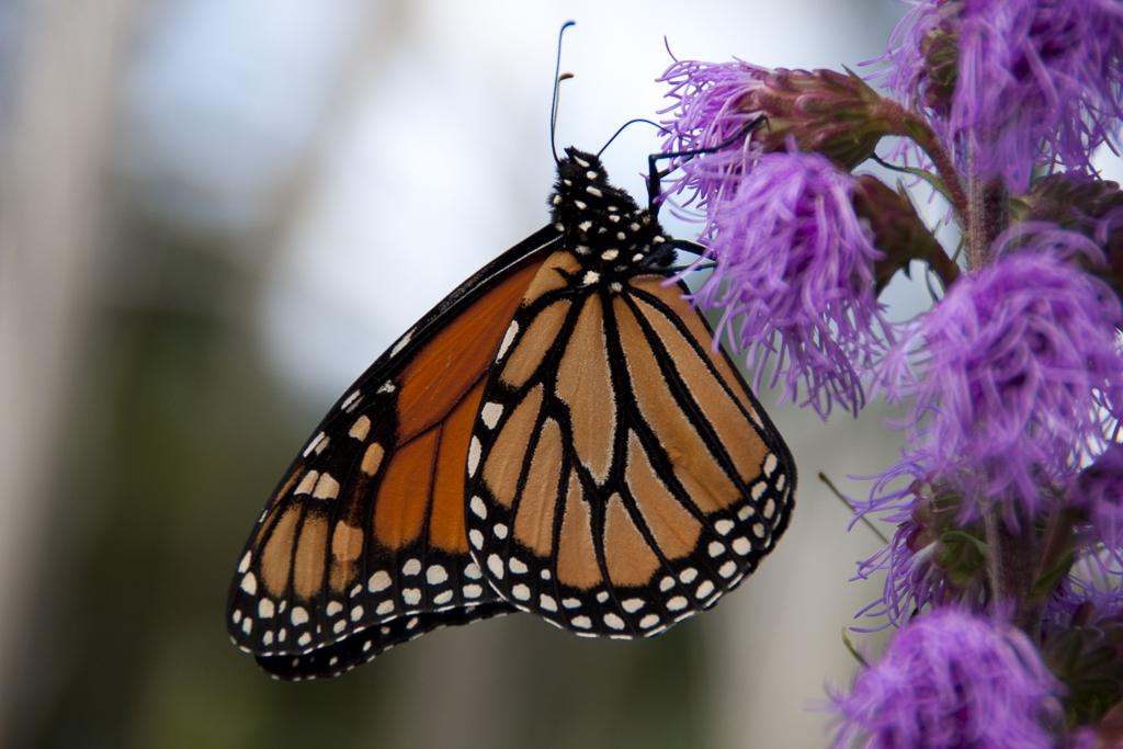 Peace_02_Monarch