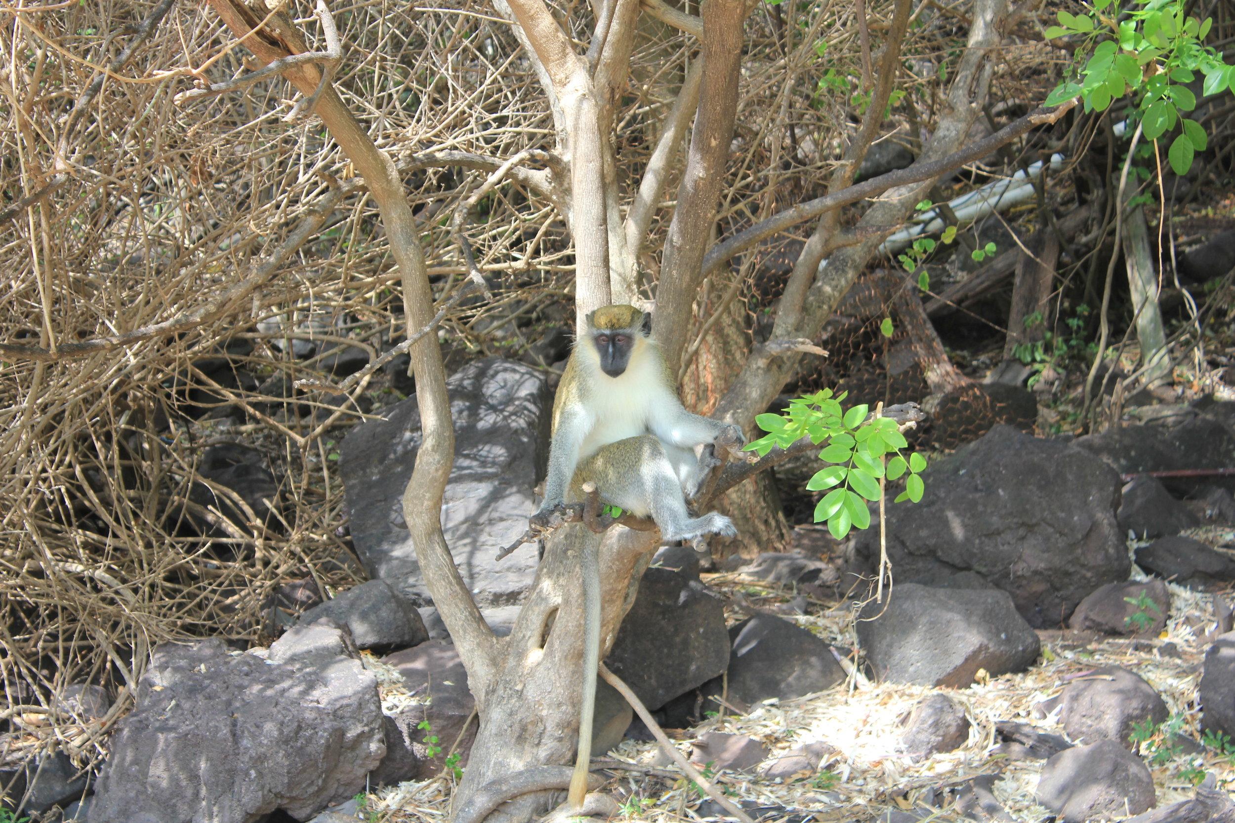 South Friar's Bay – Mischievous monkeys