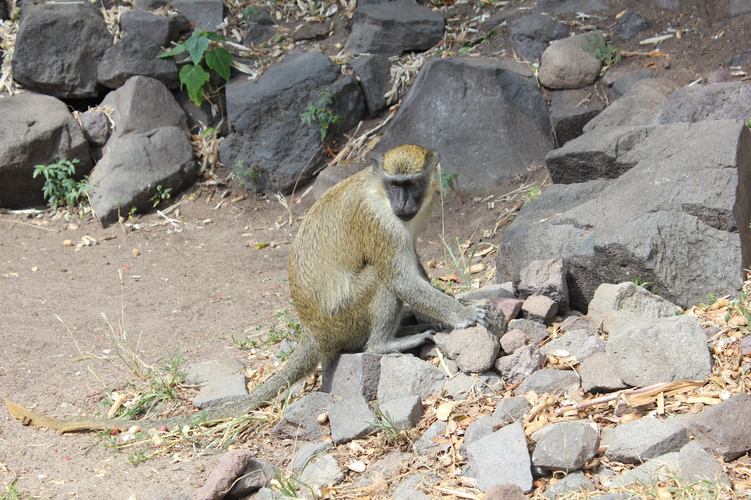 South Friar's Bay – Mischievous monkey