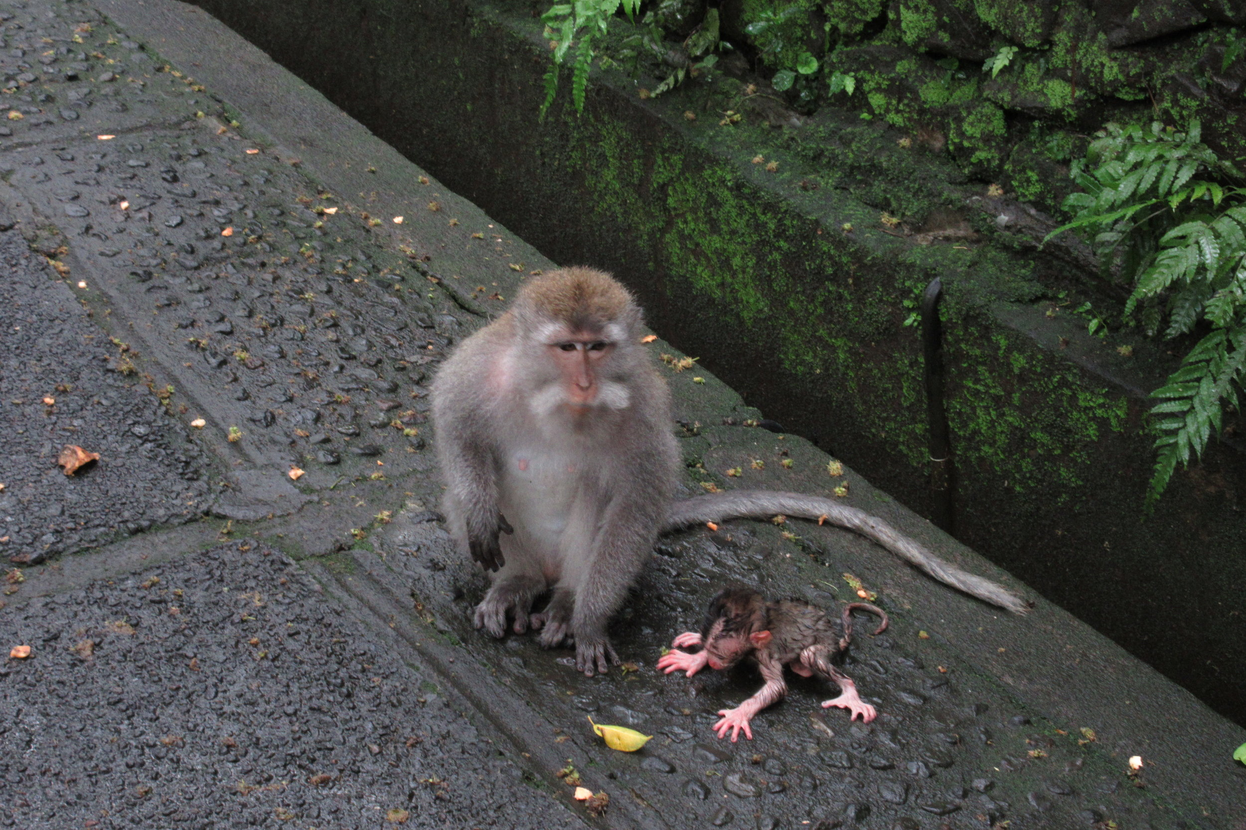 Sacred Monkey Forest – Mother and her little one