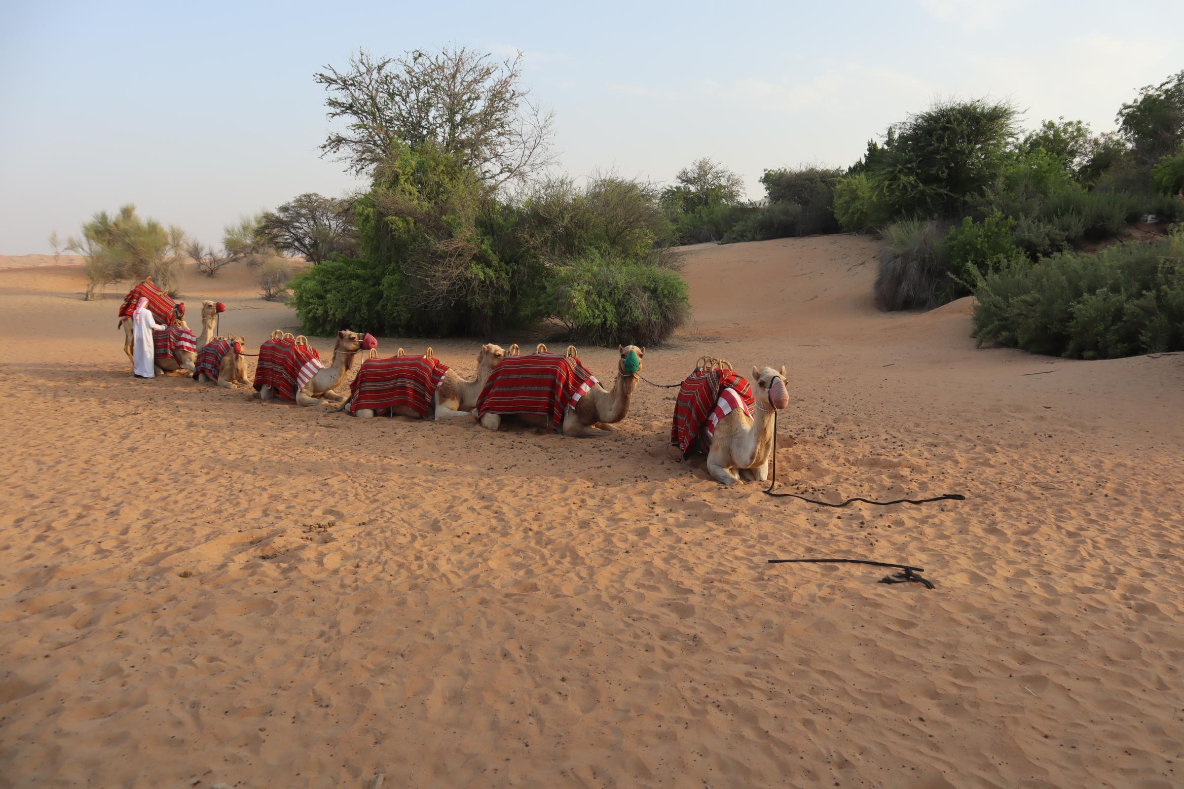 Camel ride at Al Maha