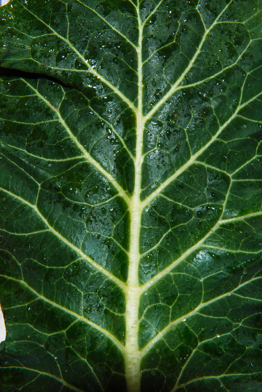 Close up of a collard leaf