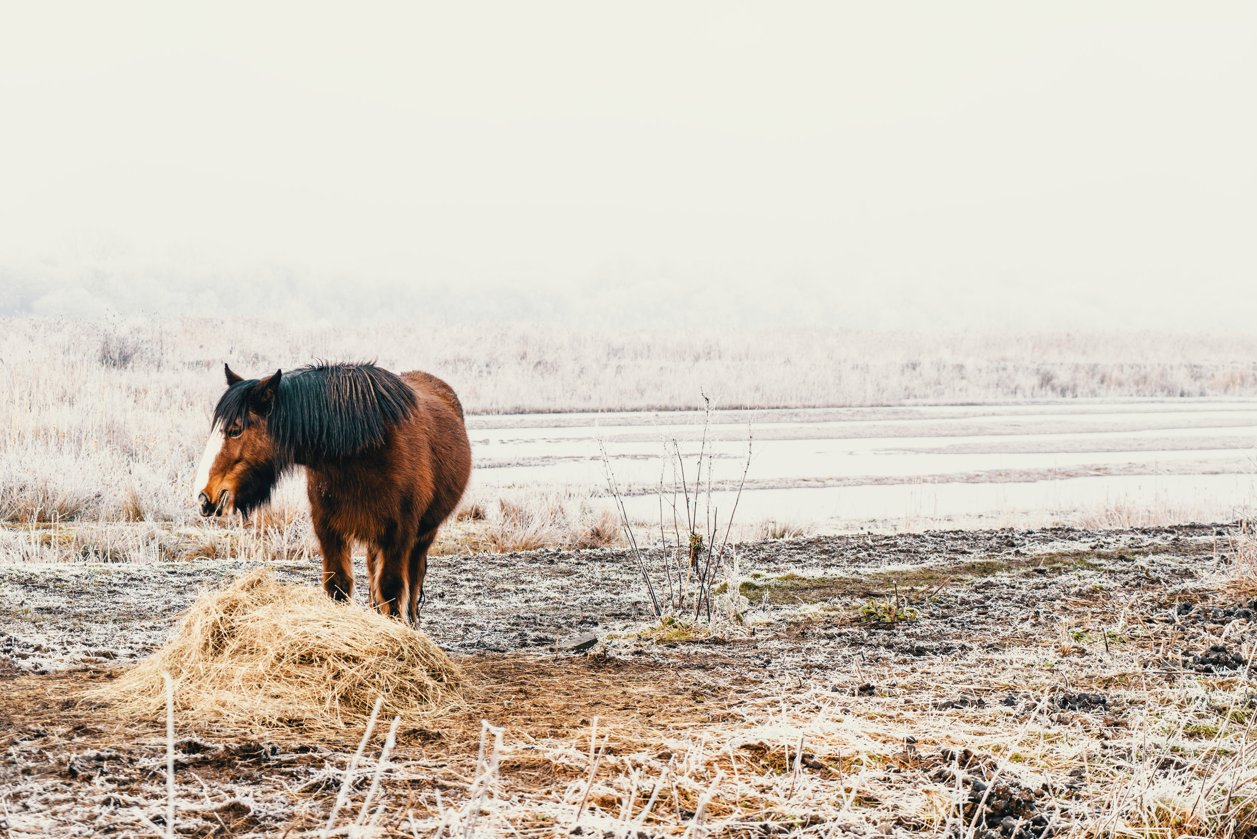 A Horse eating hay in the snow