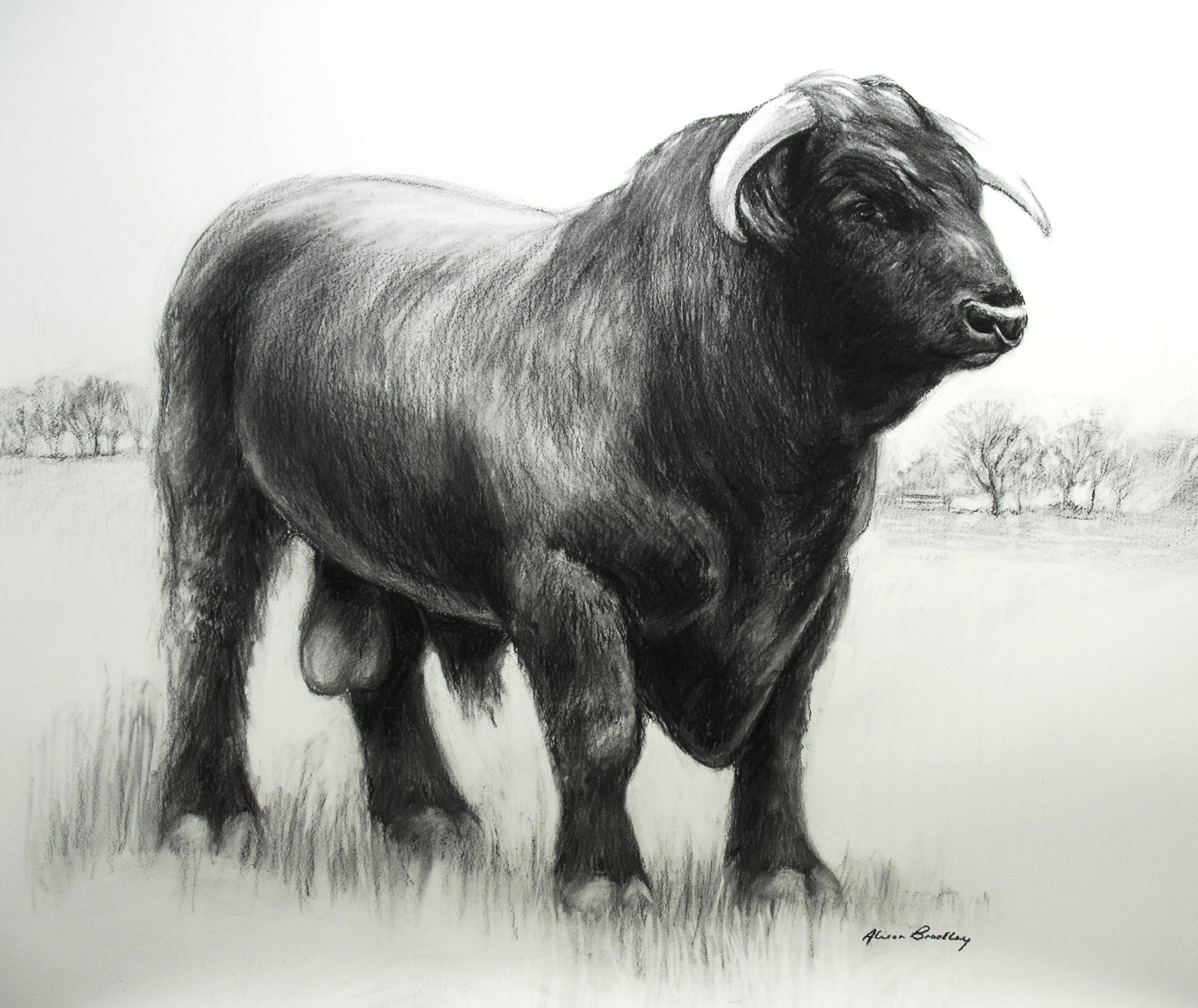 black-ox-welsh-black-bull.jpg
