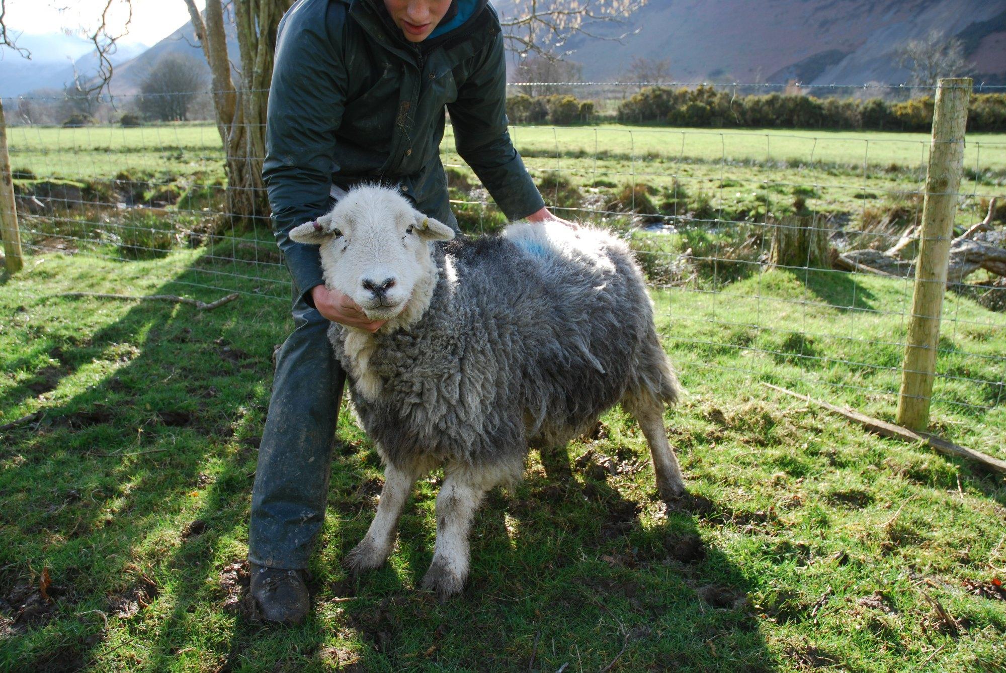 Craig introducing me to a Herdwick Sheep