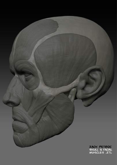 Skull_Muscles_03.jpg