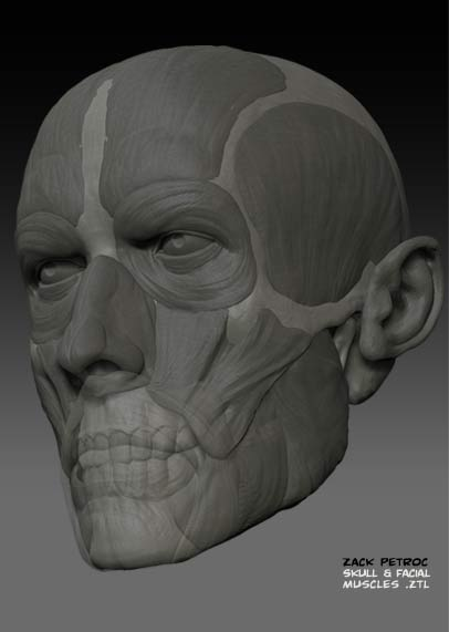 Skull_Muscles_04.jpg