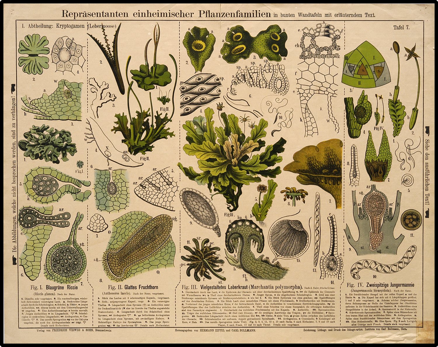 Liverworts and hornworts