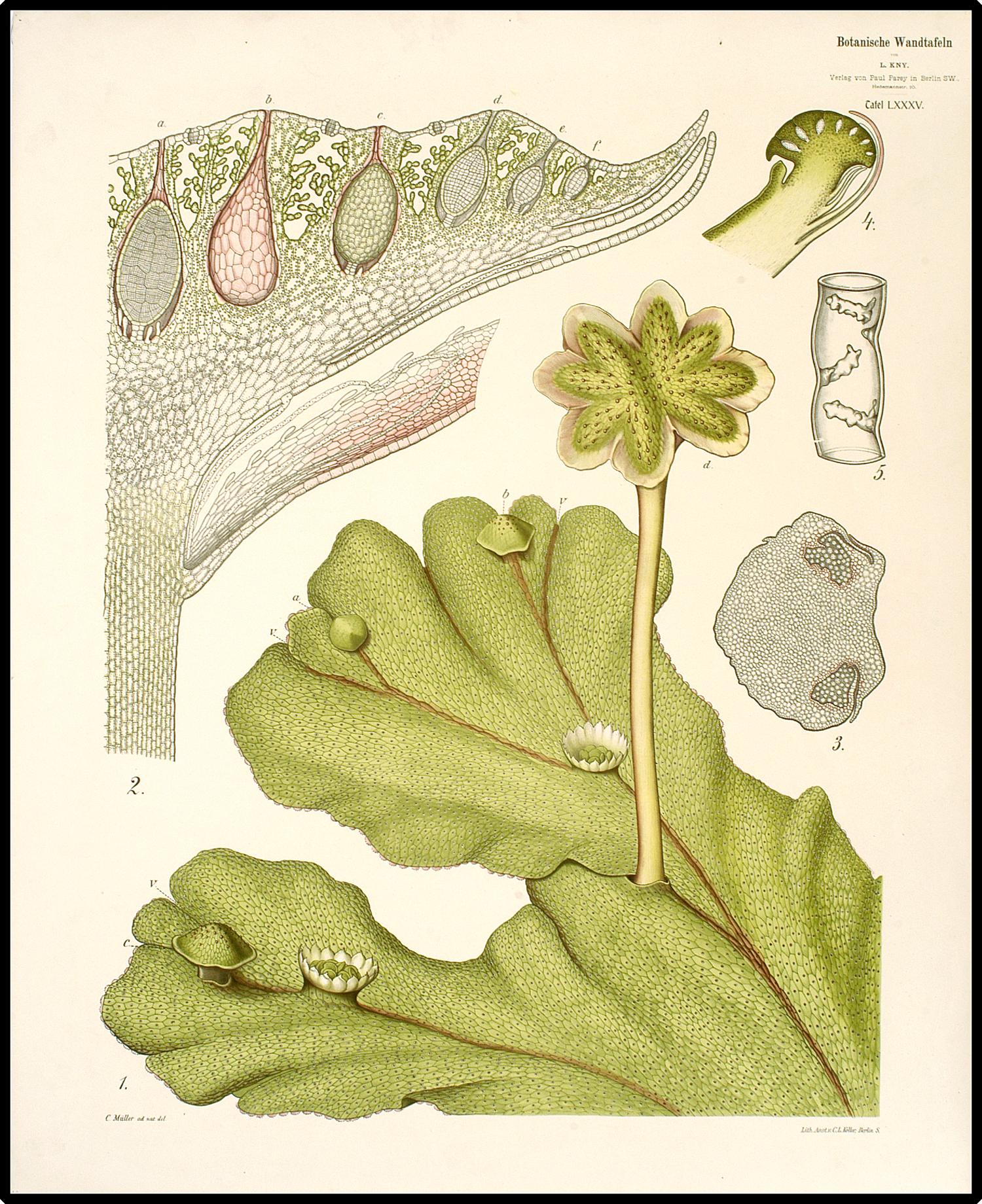 Male gametangia