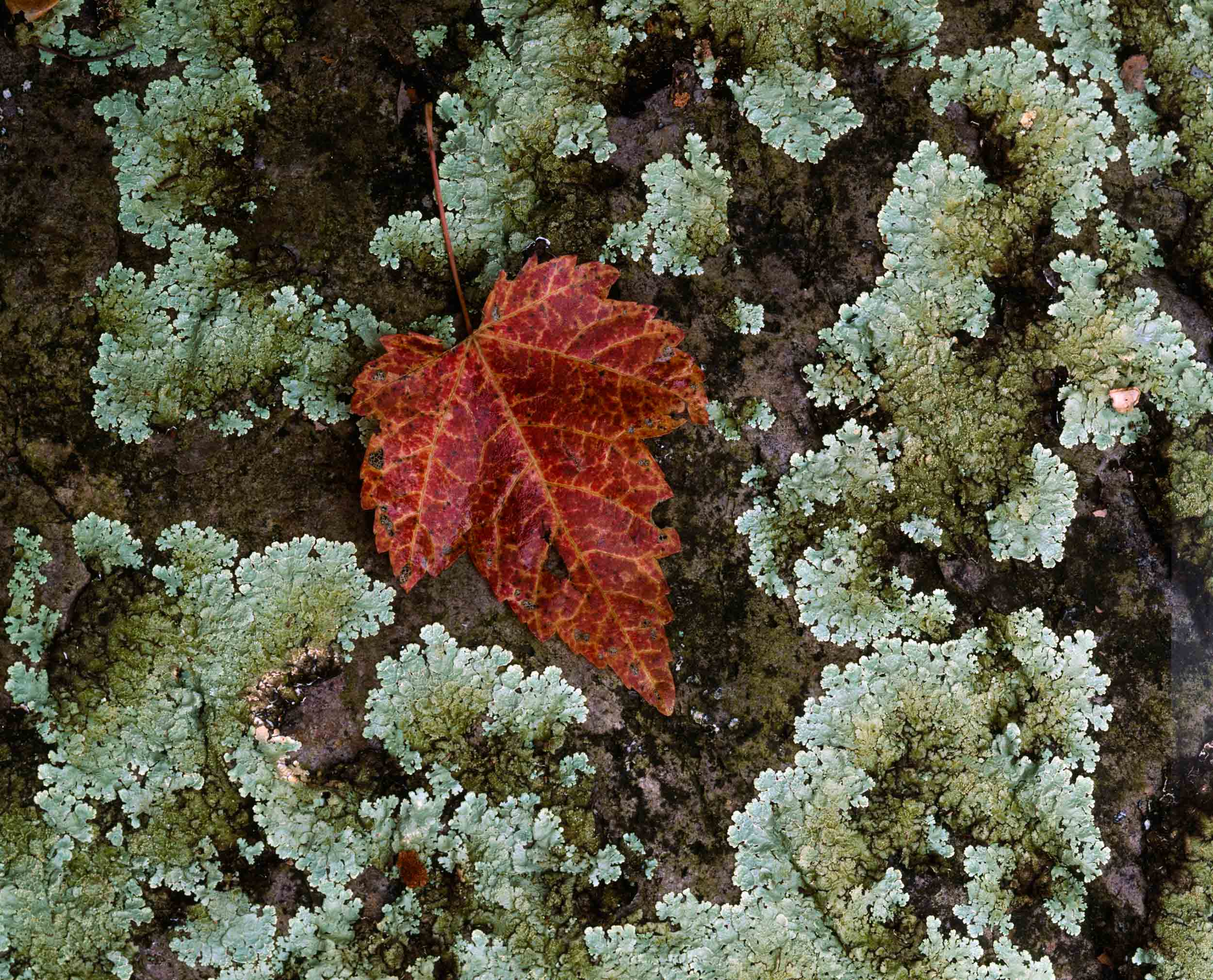 Red Maple on a Mossy Rock