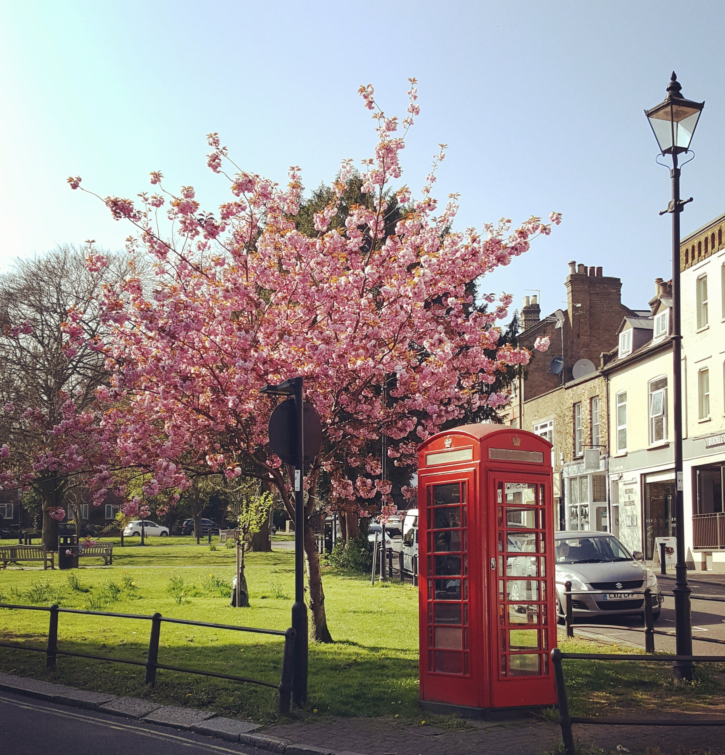 Cherry blossom on the Green (and a phone box that smells like the inside of a tramps's underpants).