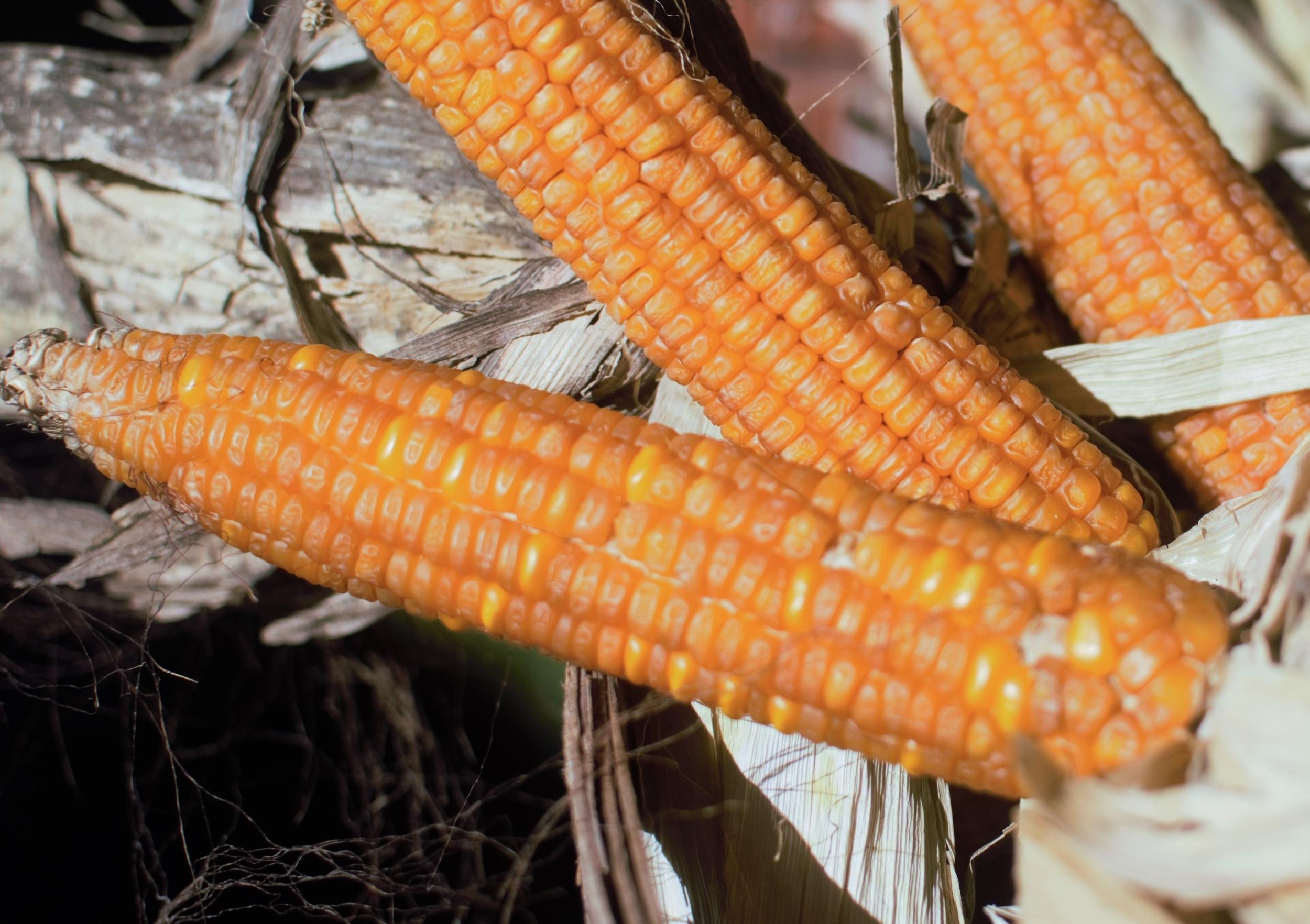 Dried Corn.jpg