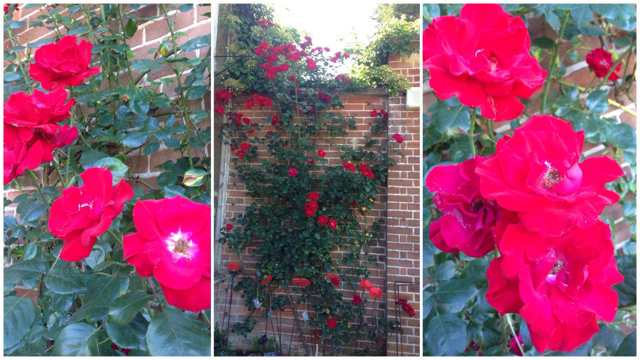 The roses in the height of summer - full bloom!