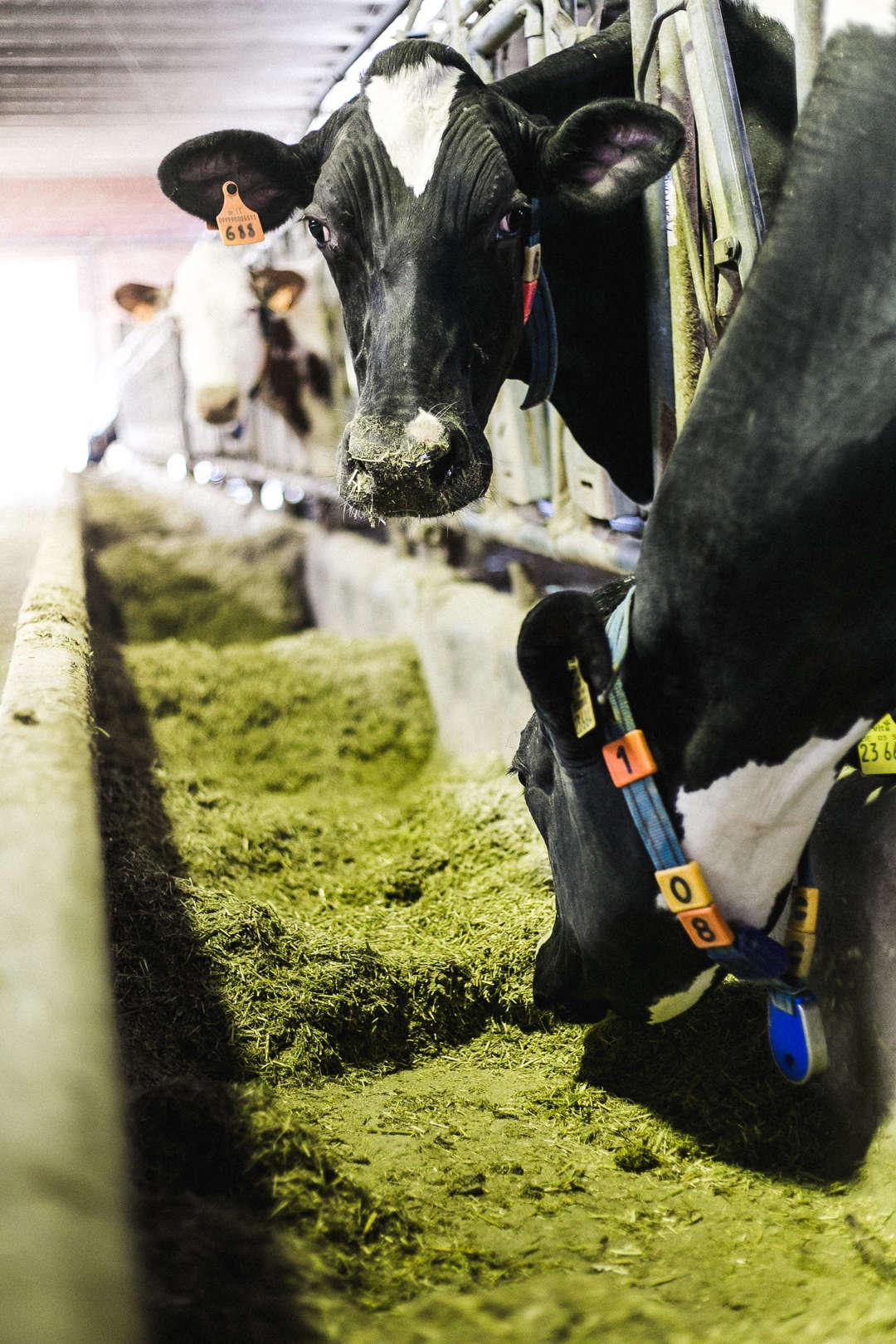 Le Mucche di San Patrignano
