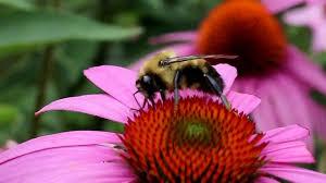 bee coneflower.jpg