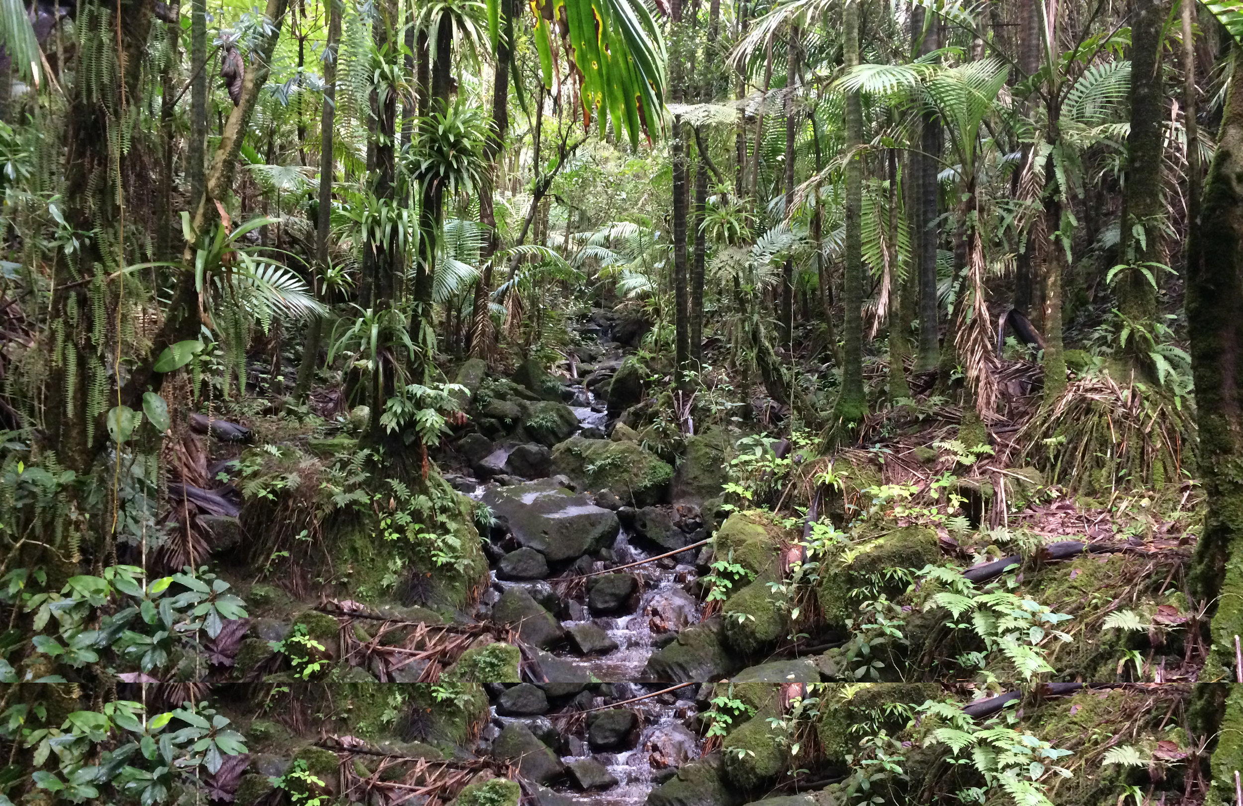 Hiking in the El Yunque National Forest at the 2016 Gene Families & Isozymes Meeting in Rio Grande, Puerto Rico.
