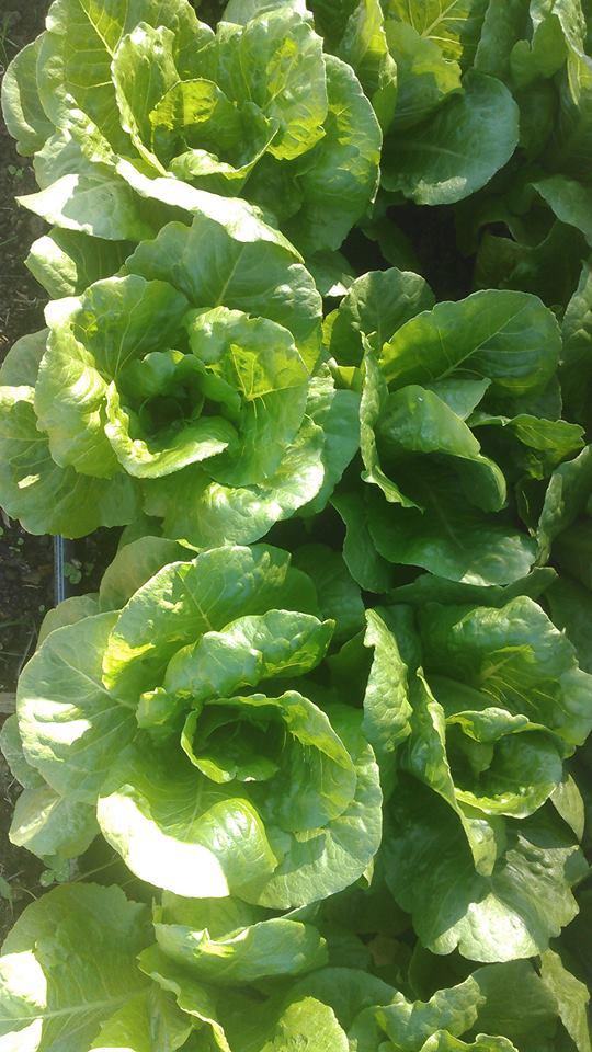 Holon Romaine Lettuce.jpg