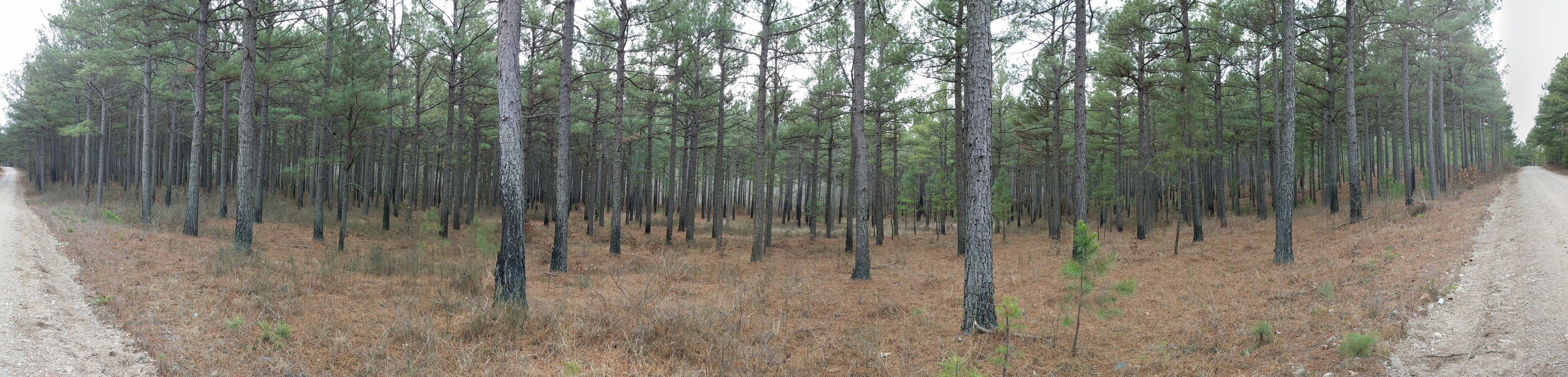One of the many views of the Pine/conifer forests!