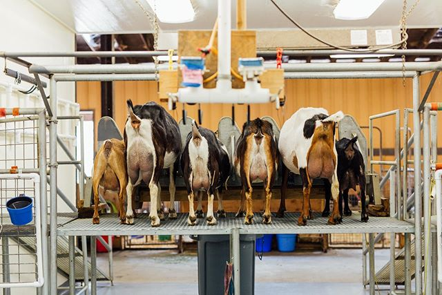 Alright ladies... line em up! It's milking time!