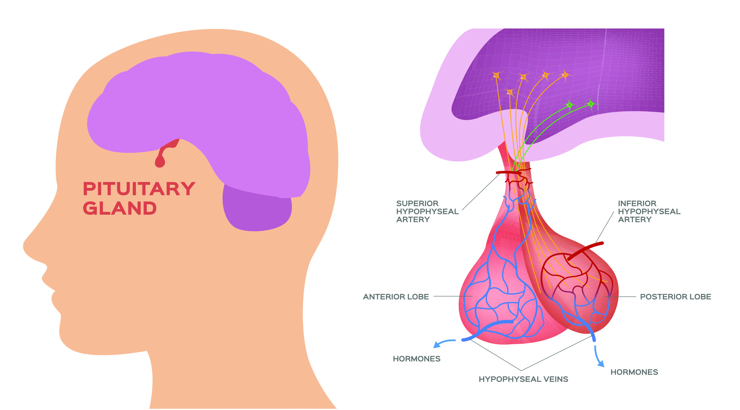 pituitary gland back to natural health.jpg