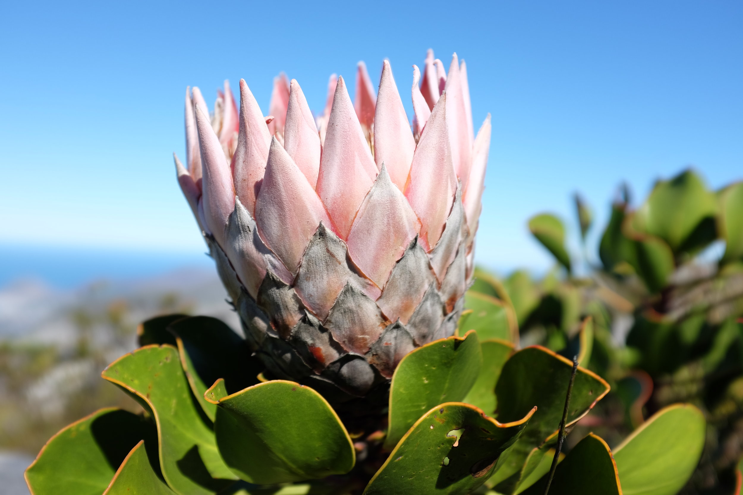 Found some Protea, the national flower of South Africa, on Table Mountain. The giant variety kind of looks like half a pineapple from the side.