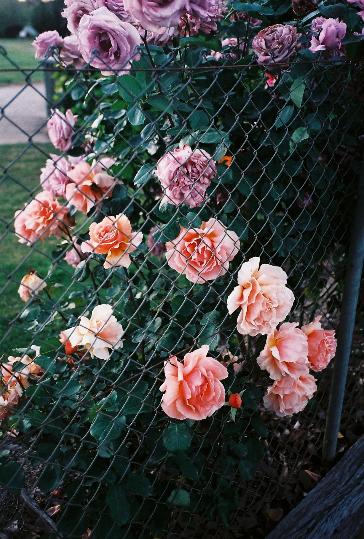 photography suburb melbourne roses