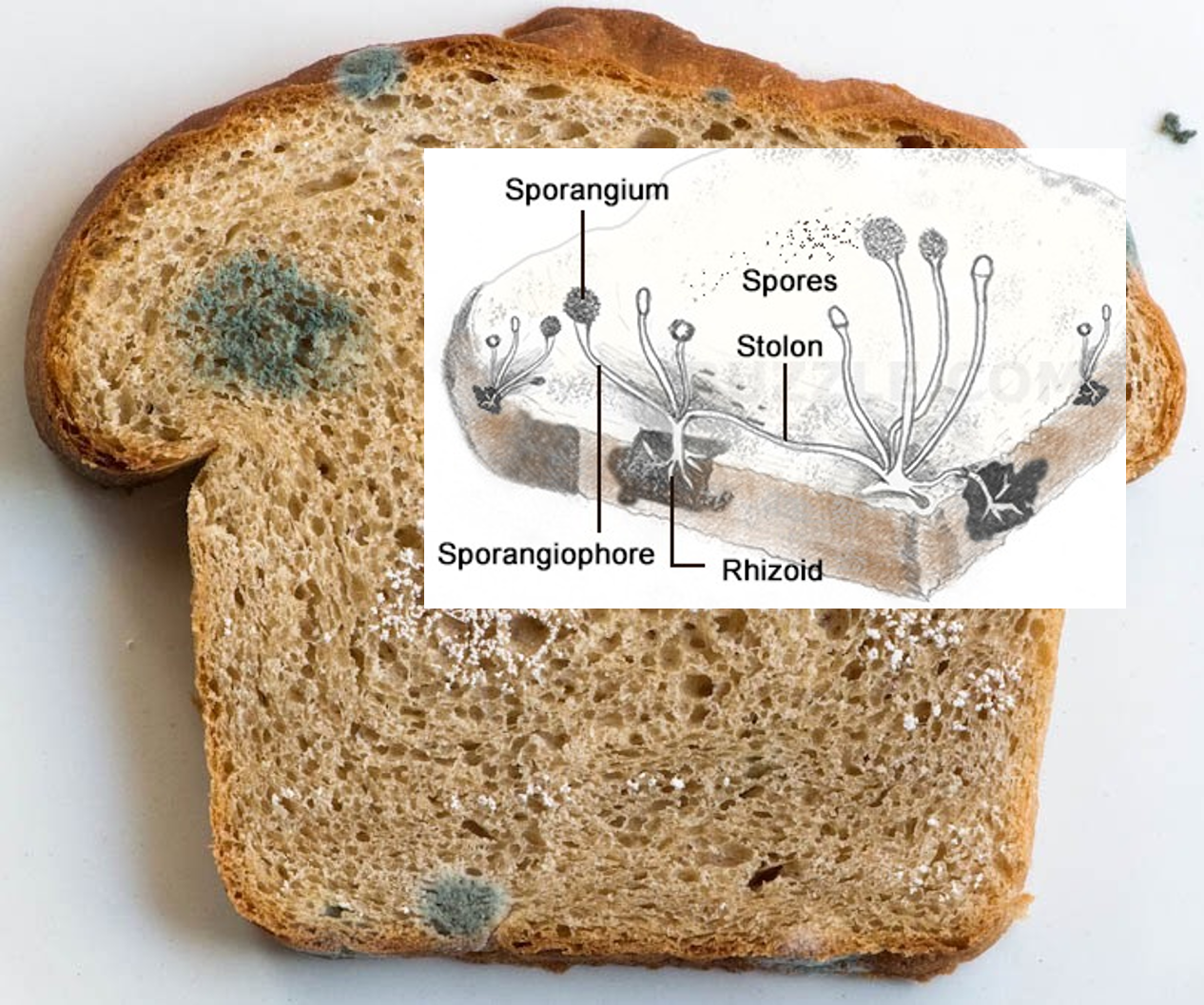 Cutting away visible mold growth from food will not remove all the mold or make it safe to eat,there are still hyphal fragments that invade deeply into the food like roots of a tree.