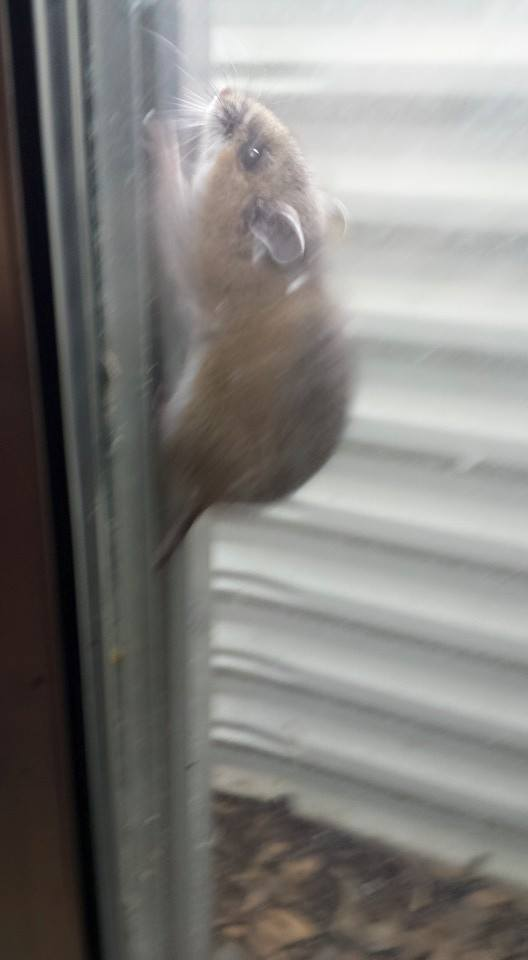 Rodents love to hang out in window wells and chew through fabric window screening. Metal screening will help prevent future damage.