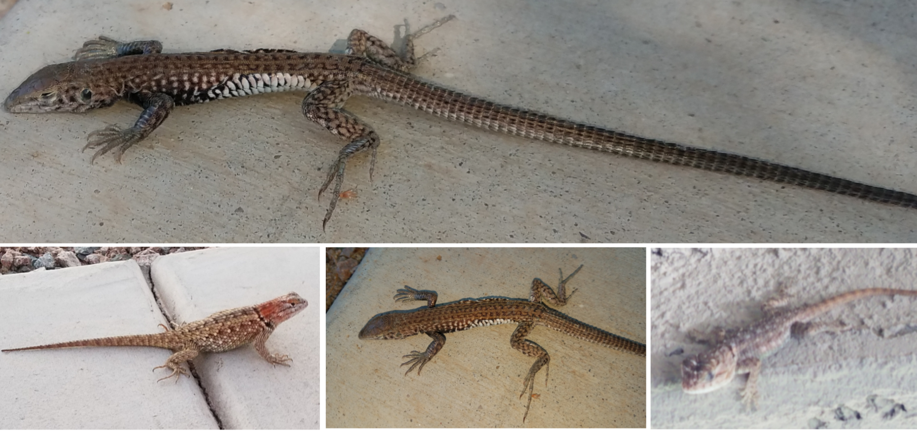 Lizards are always welcome in my yard. They eat tons of bugs and most of them are generally harmless.