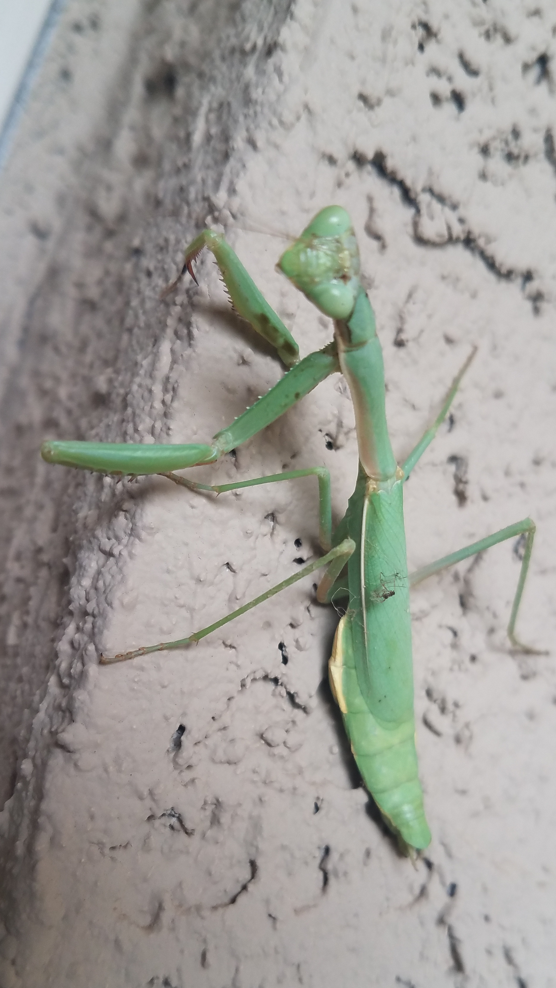 The Praying Mantis: These carnivores are insect-eating machines, capable of killing prey up to 3x its own size. They are always welcome in my yard.