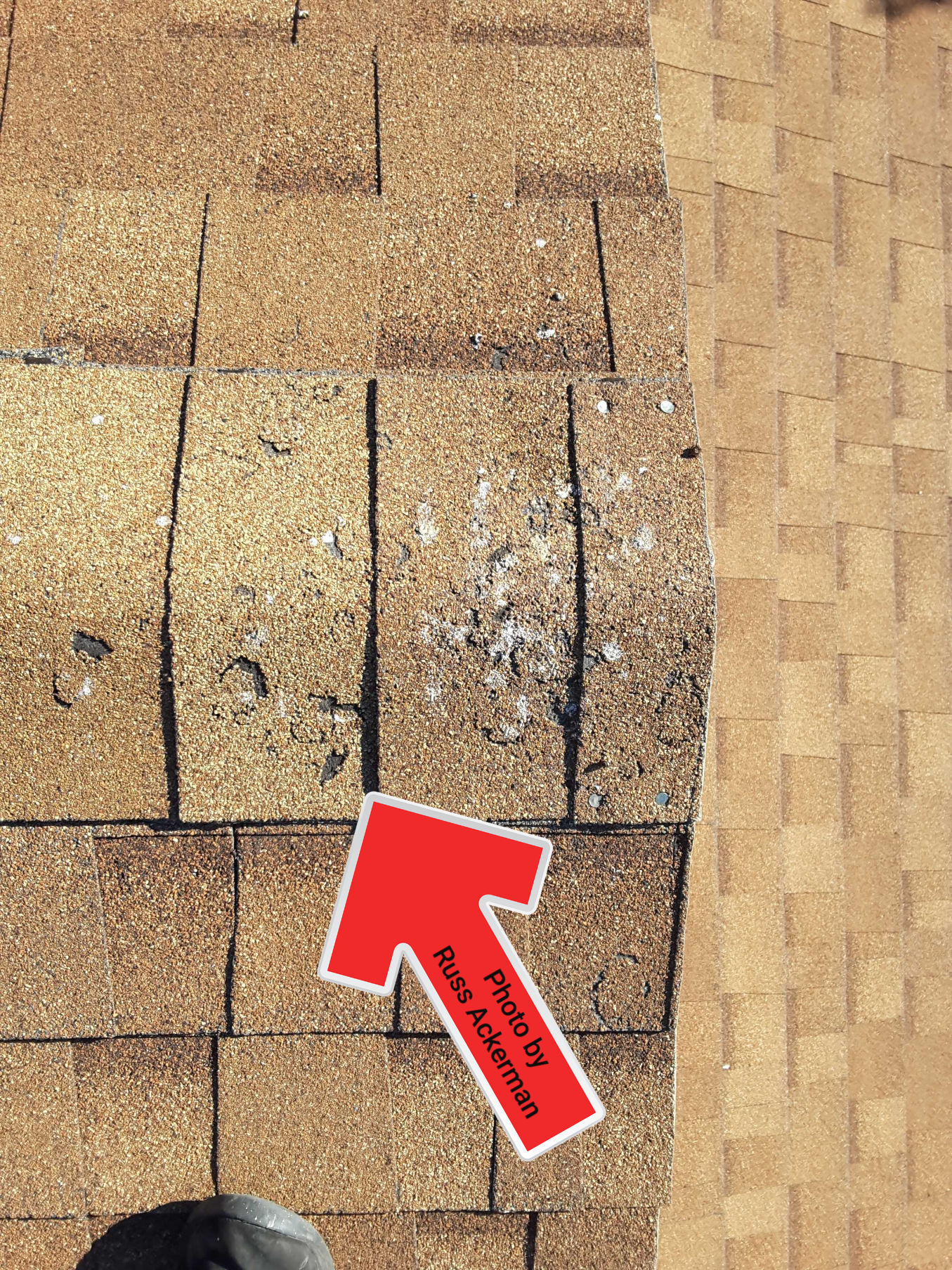 Granule loss at asphalt ridge shingles are from bird droppings which are highly acidic and will slowly eat away the shingles.