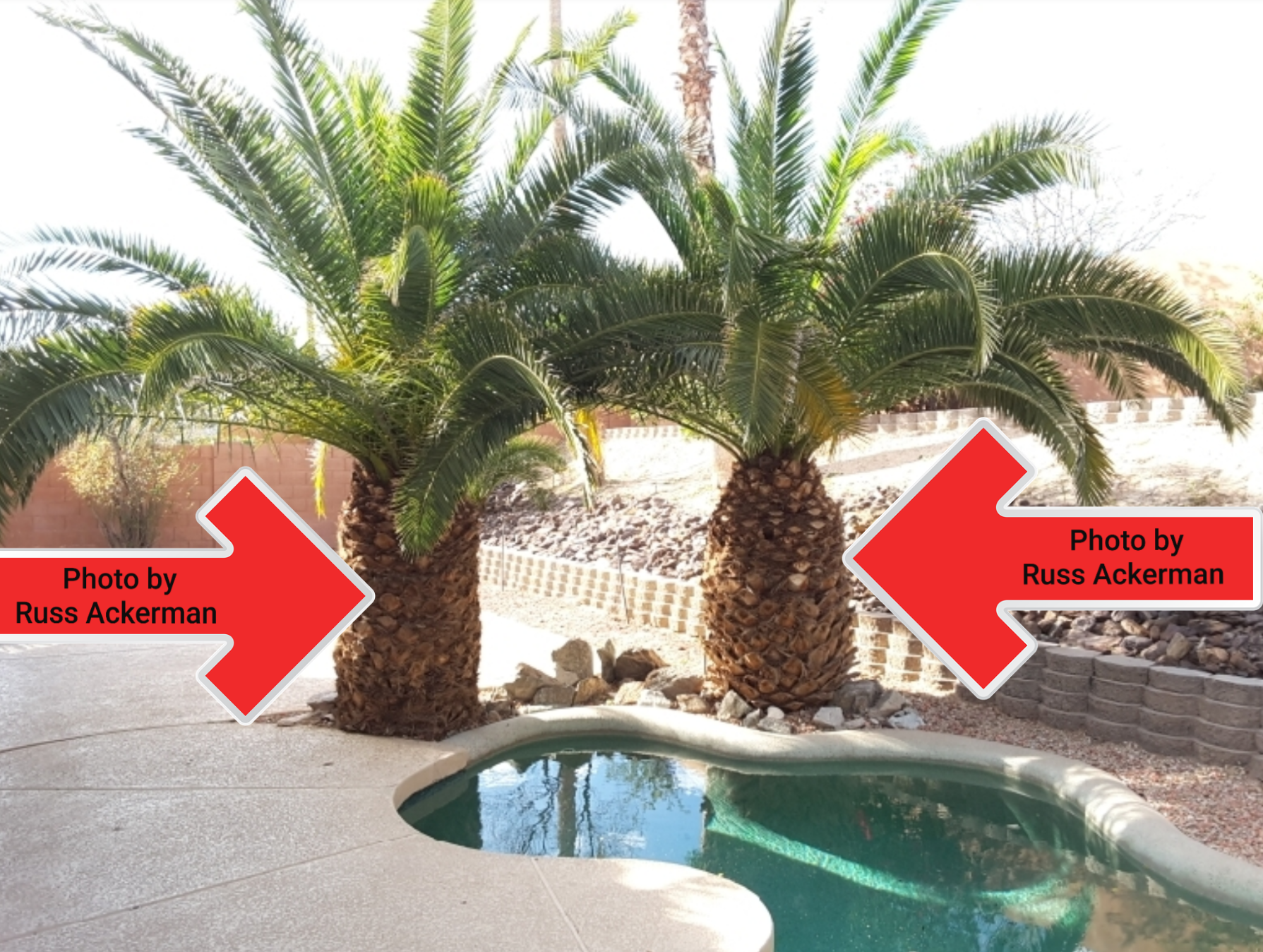 Palm roots are less intrusive than other trees, but when planted this close, they may eventually cause damage the the pool structure and liner.