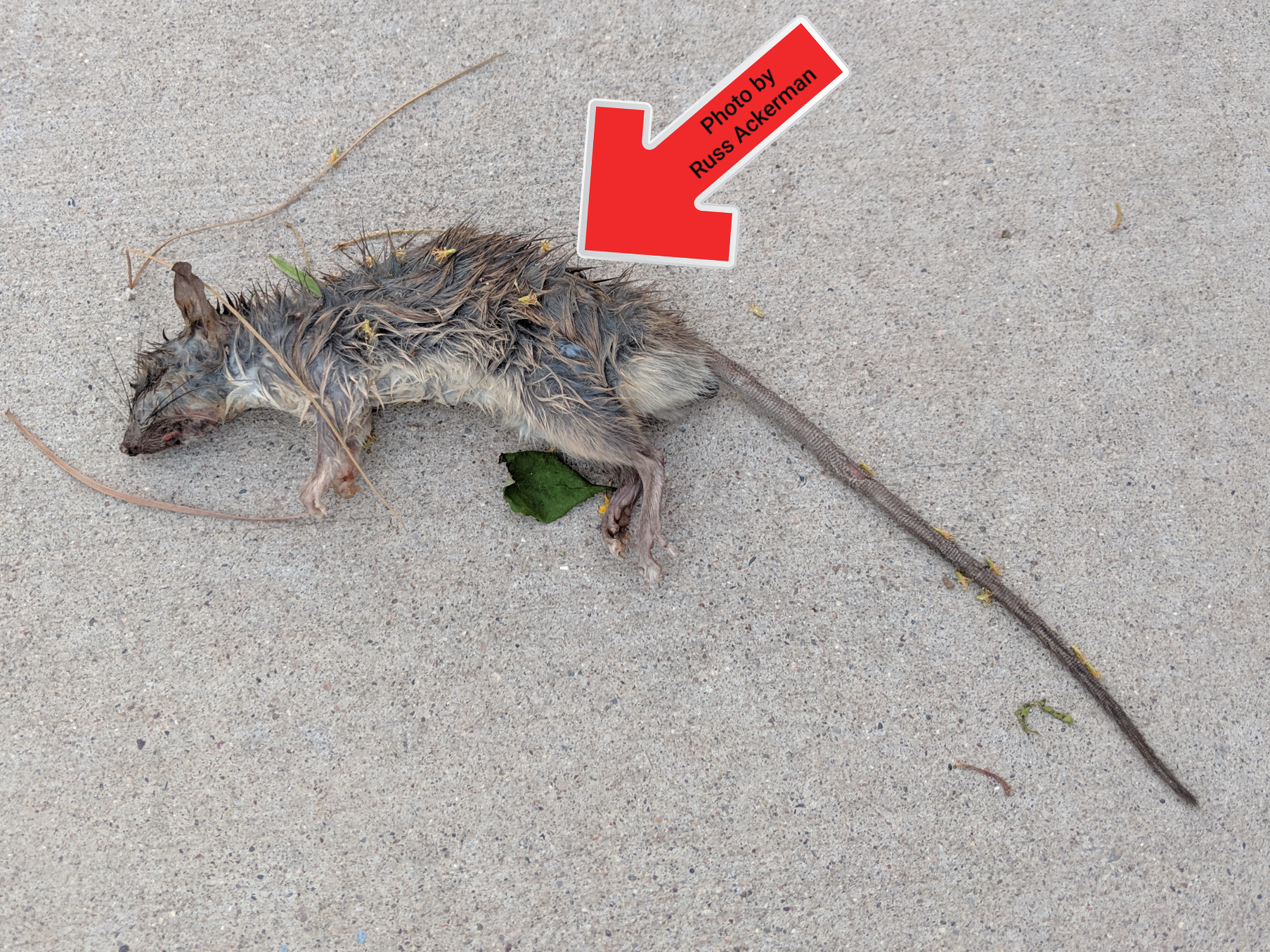 I'm seeing more rodents than usual this spring. If you have fruit trees, bird feeders or heavy weeds and debris around your property, expect to have rodents.
