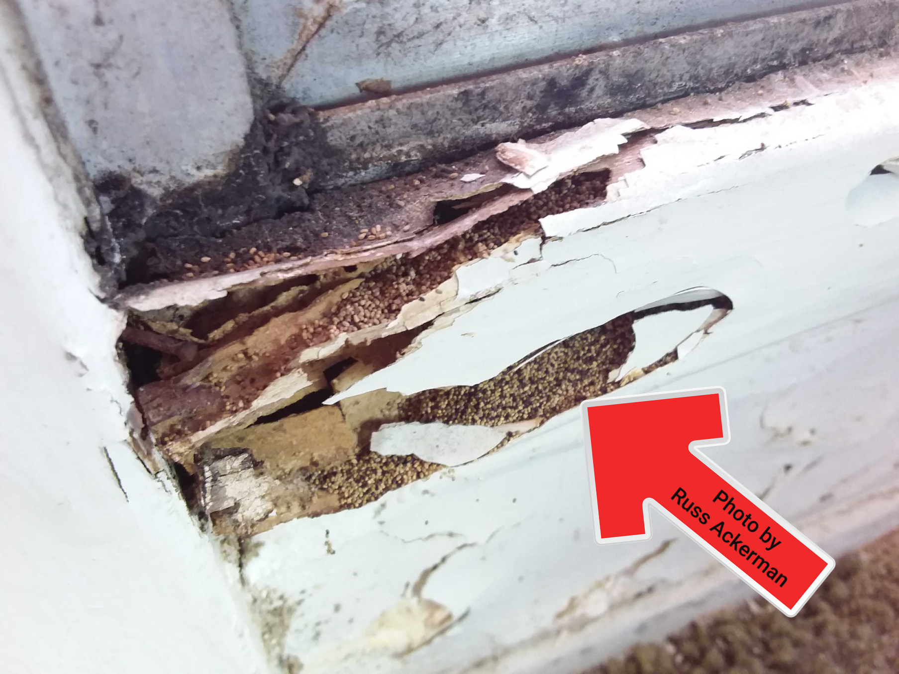 This wooden window trim appears totally rotted out, a closer look and appears filled with sand. Drywood termite damage.