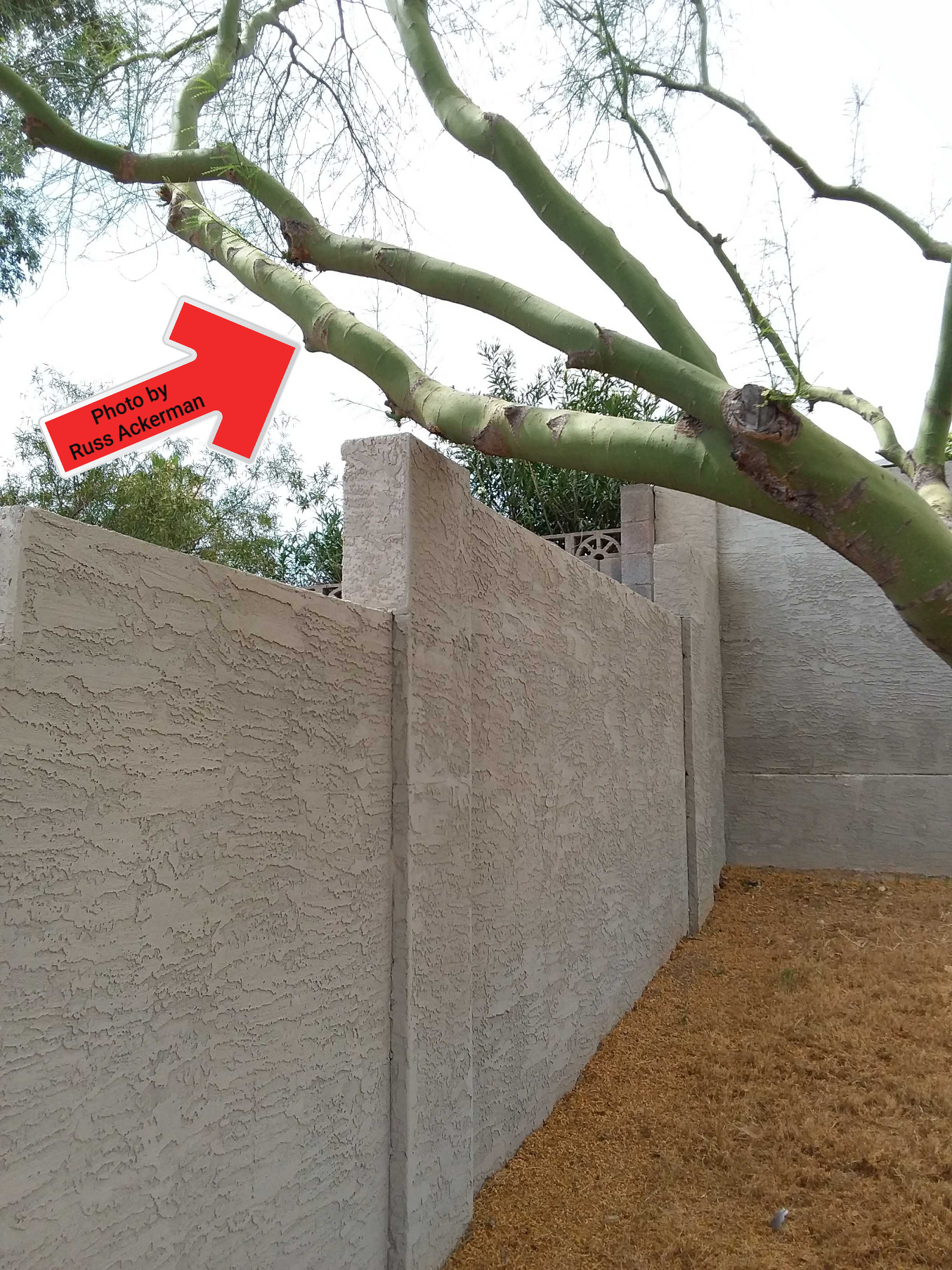 Palo Verde trees are usually the first ones to snap during summer monsoons, and that block wall will soon be damaged.
