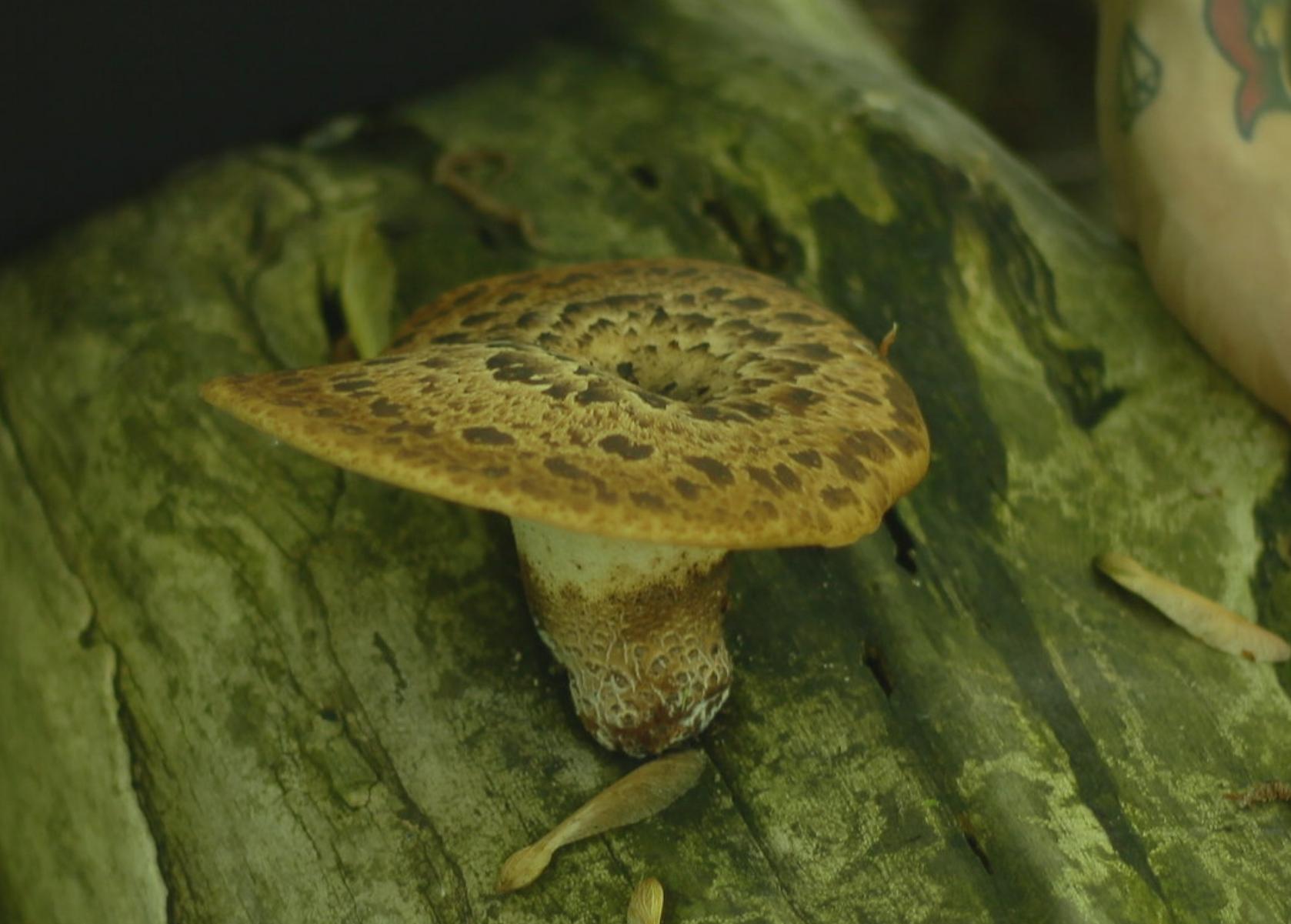 Polypore écailleux (polyporus squamosus)