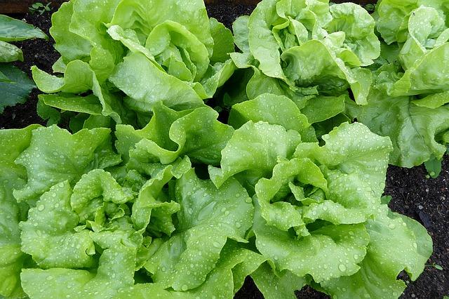lettuce-1463495_640