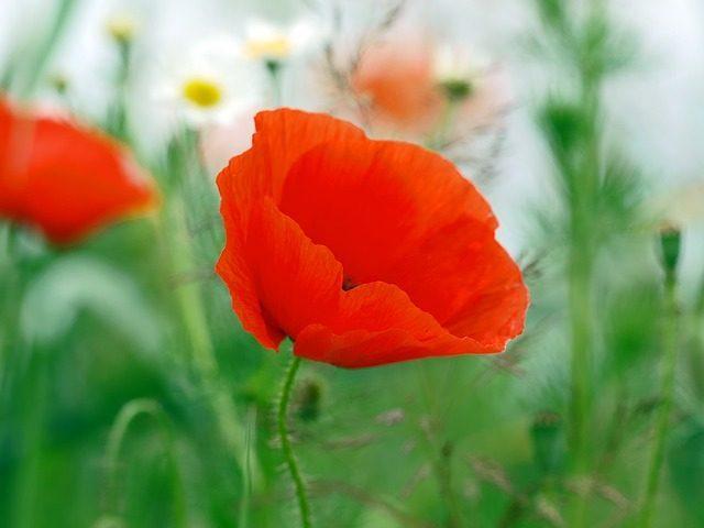 poppy-flower-1340738_640-e1464318068283.jpg