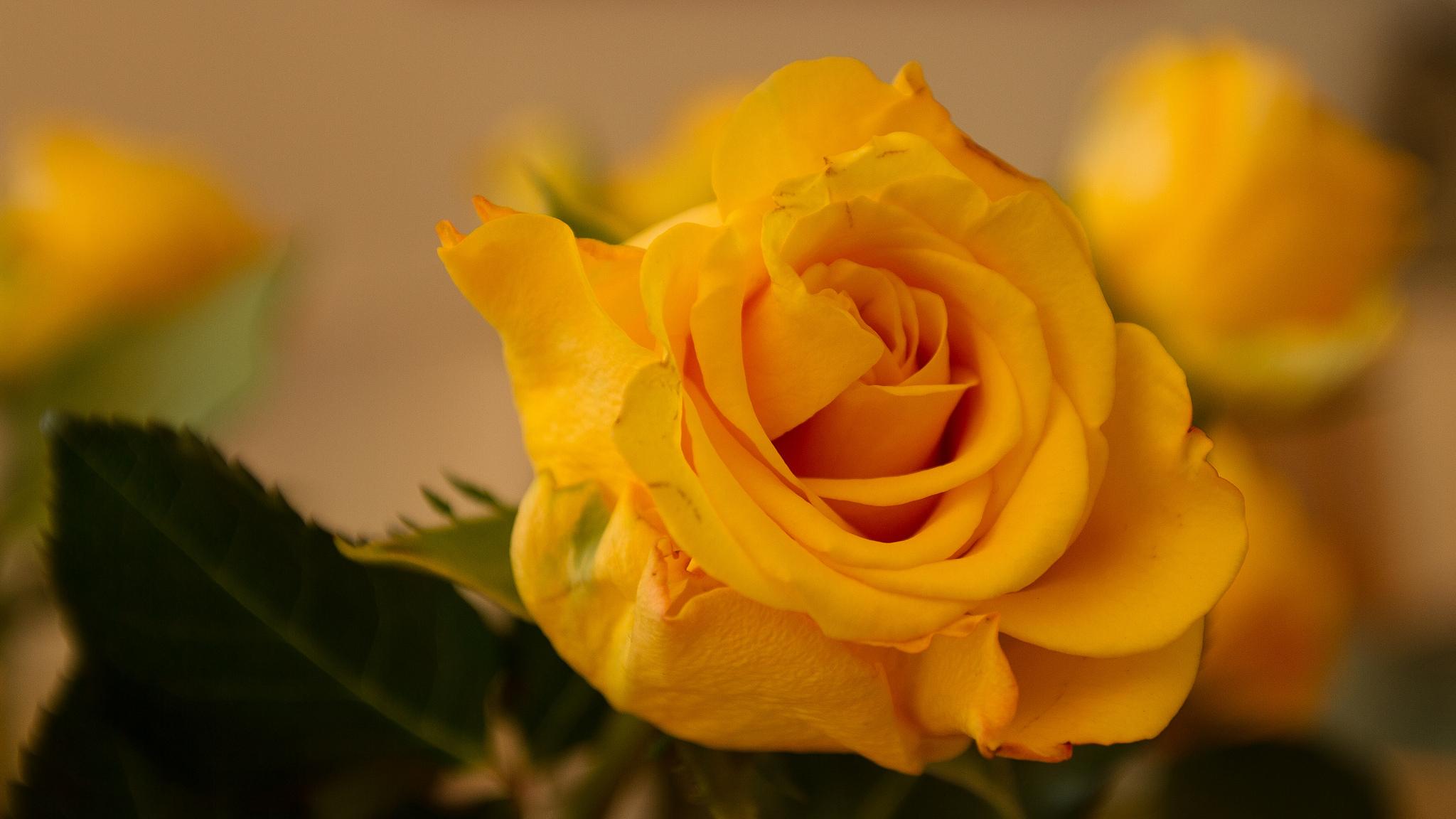 large yellow rose.jpg
