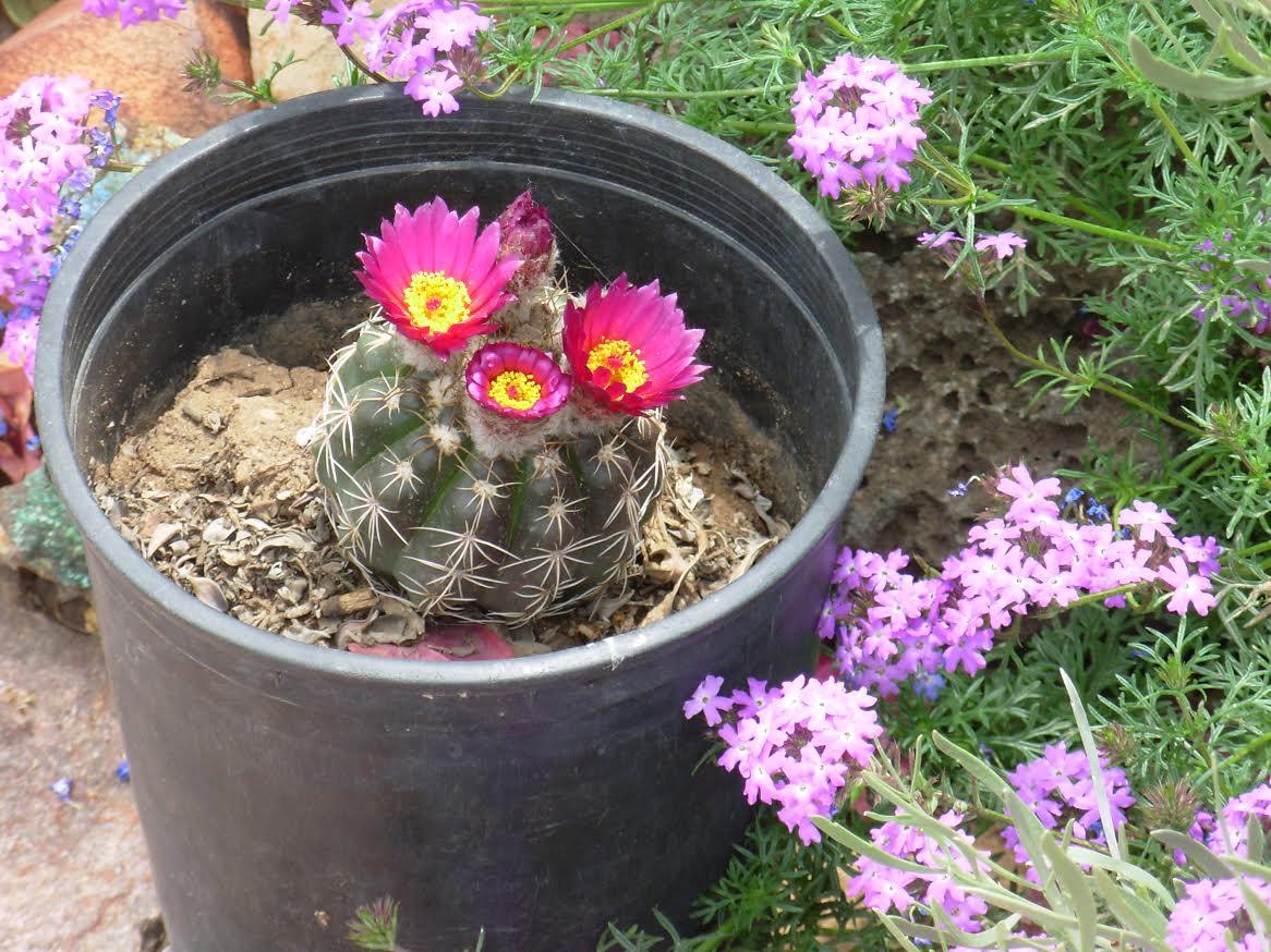valley-garden-center-phoenix-potted-succulent-in-bloom.jpg