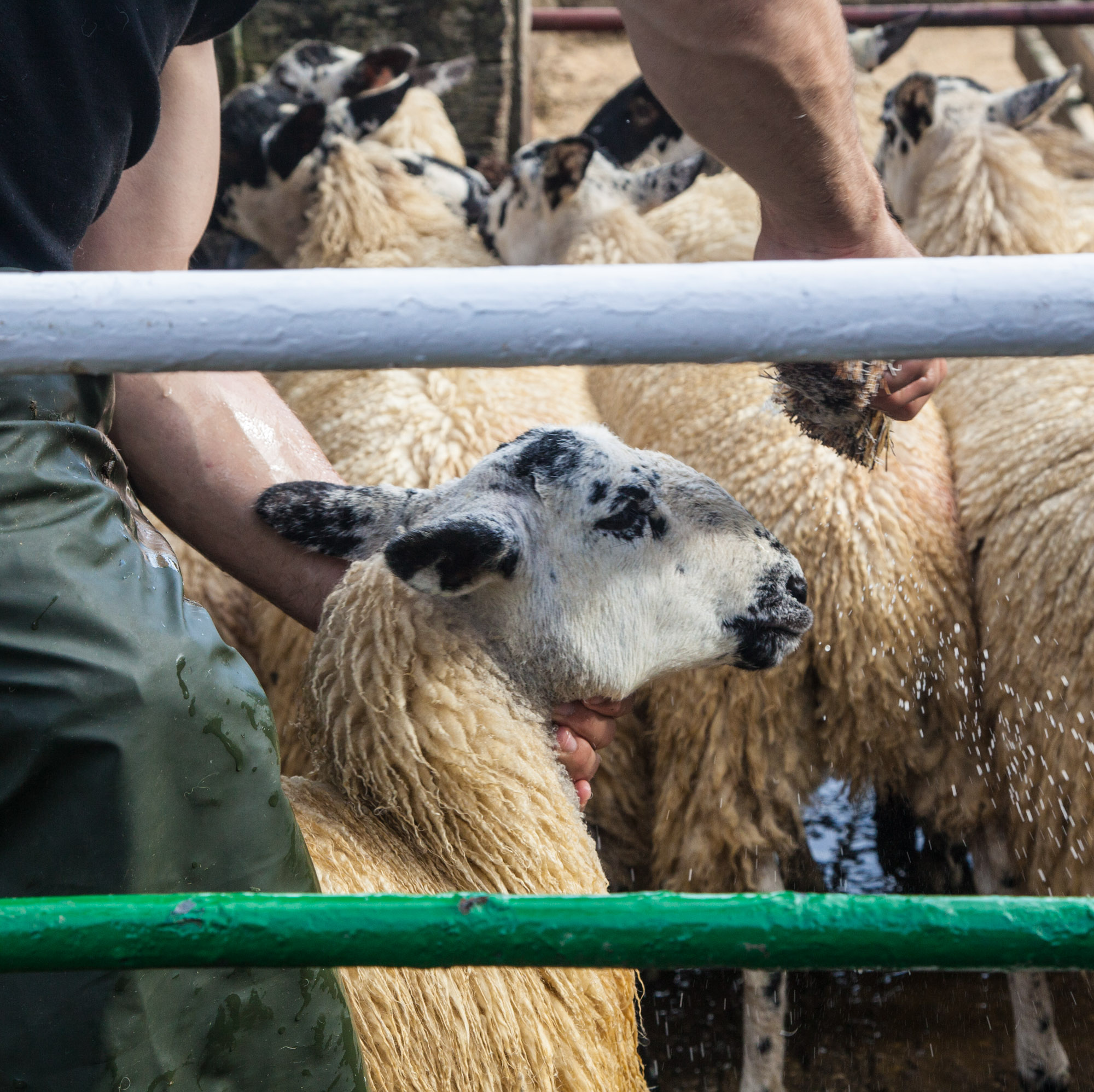 lamb-slaughter-cleaning-preparation-4.jpg