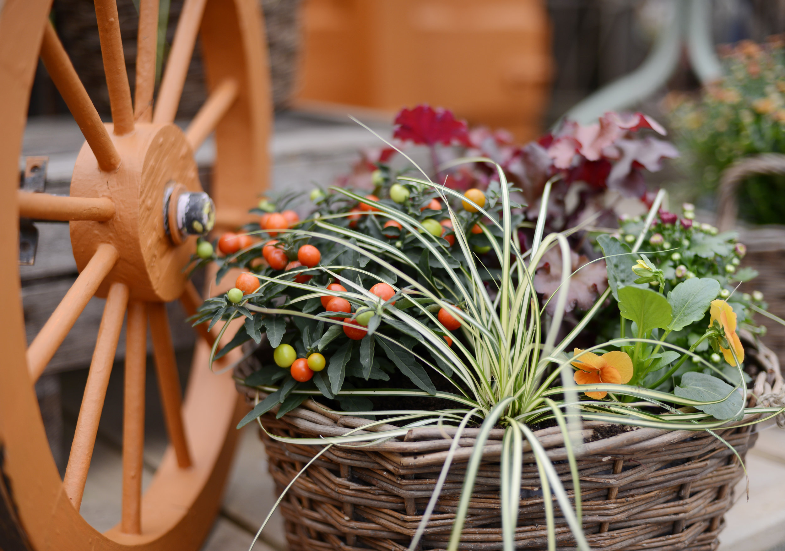 Fall in love - Be inspired and soak up our beautiful array of Autumnal displays. Our plant experts are always on hand to answer any questions and give advice for your own Autumnal equinox!